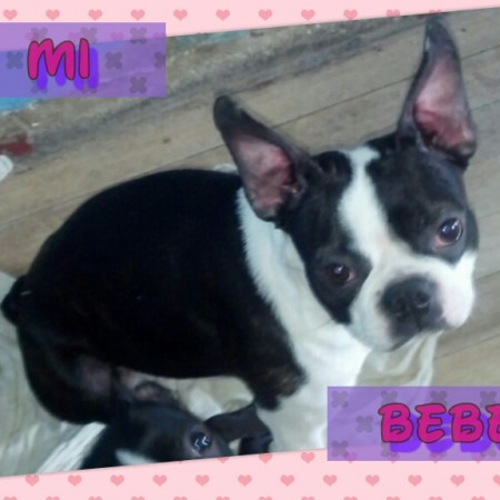 Nombre: Boston Terrier